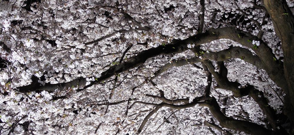 ⇒春の京都嵐山を夜桜散策!レンタル着物で京都の春を楽しもう!